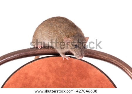 brown domestic rat sitting on a chair - stock photo
