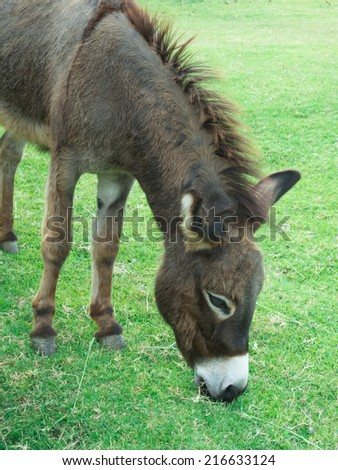 Brown donkey eating grass in a green field.