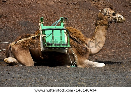 brown dromedary bite in the volcanic timanfaya lanzarote spain africa  - stock photo