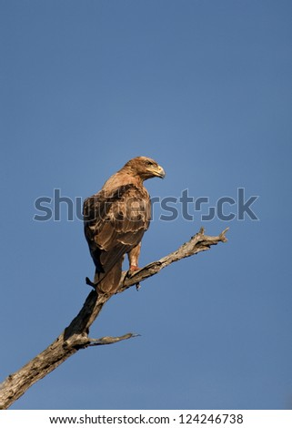 Brown eagle perched on branch - stock photo