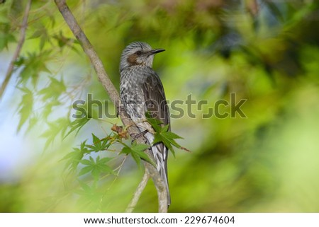 Brown-Eared Bulbul in Japanese maple forest. - stock photo