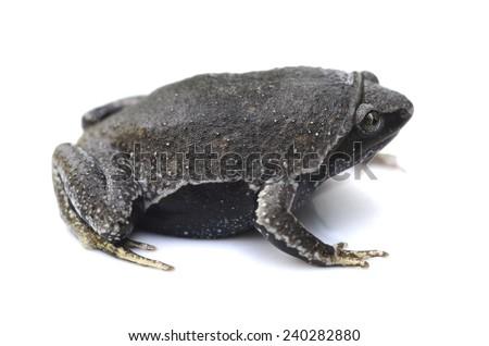 Brown egg frog (Ctenophryne geayi) - stock photo