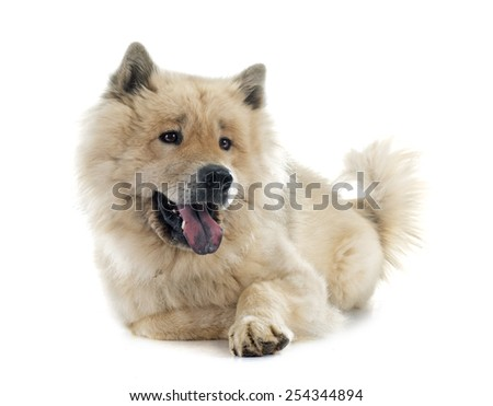 brown eurasier in front of white background - stock photo