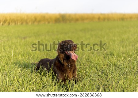 Brown Flat Coated Retriever in grass