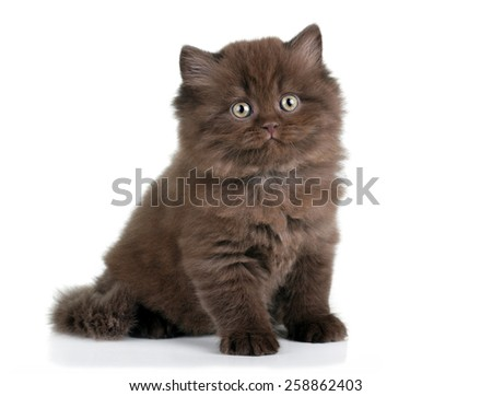 Brown fluffy kitten sitting on a white background
