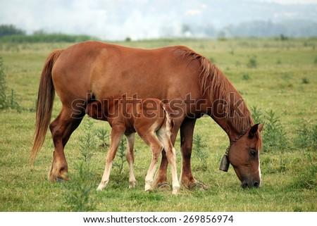 brown foal breastfeeding in the field - stock photo