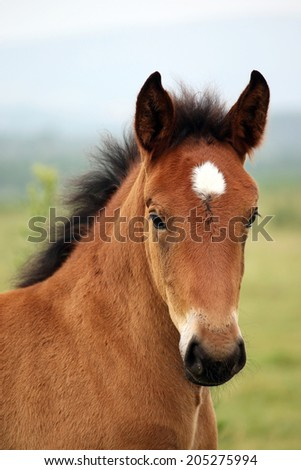 brown foal portrait