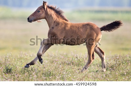 Brown foal running on meadow on sunny day - stock photo