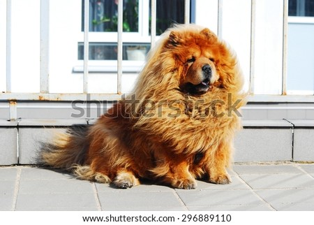 Brown friendly chow-chow dog in the  Vilnius city. - stock photo
