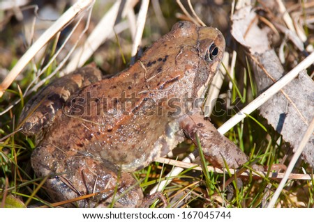 Brown frog hiding in the grass.