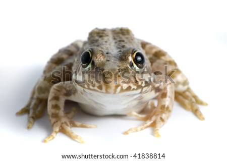 Brown frog looking at you - stock photo