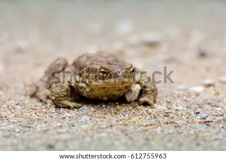 Brown frog on a forest road
