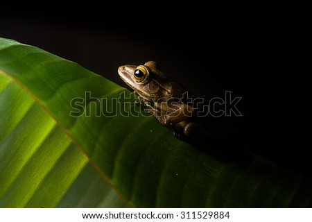Brown frog on banana leaf  - stock photo
