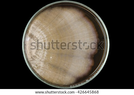 Brown fungi or mold contaminate on yeast extract peptone dextrose agar plate (petri dish).  - stock photo