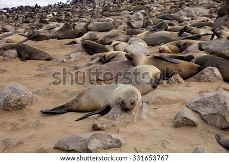 Brown fur seal colonies in the foreground young cros Cape, Namibia