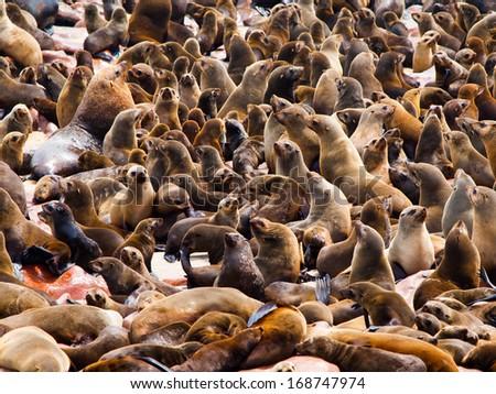 Brown Fur Seal colony at Cape Cross in Namibia (Arctocephalus pusillus) - stock photo