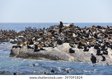 Brown fur seals on Seal Island, Hout Bay, near Cape Town, South Africa - stock photo