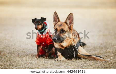 Brown German Sheepdog And Black Miniature Pinscher  Pincher Laying Together On Dry Grass. Autumn - stock photo