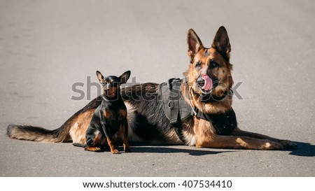Brown German Sheepdog And Black Miniature Pinscher Pincher Sitting Together On Road - stock photo