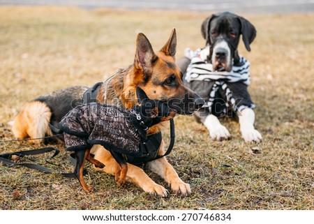 Brown German Sheepdog And Black Miniature Pinscher Pincher Together On Dry Grass. Autumn - stock photo