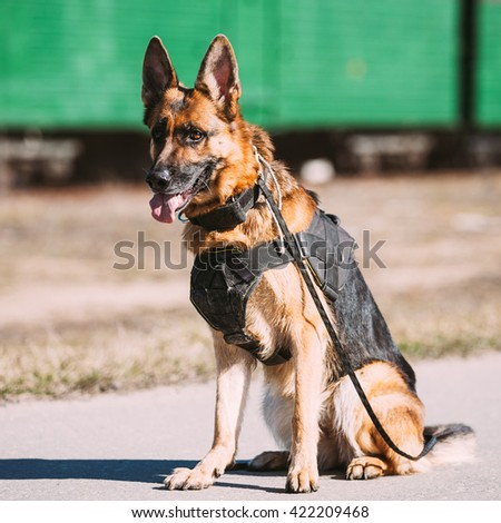 Brown German Sheepdog Sitting On Road In Sunny Day - stock photo