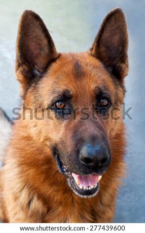 Brown German Shepherd Dog Close Up Portrait - stock photo