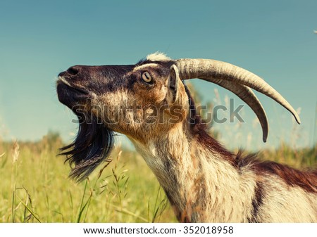 Brown Goat face with big Horns on Green Meadow - stock photo