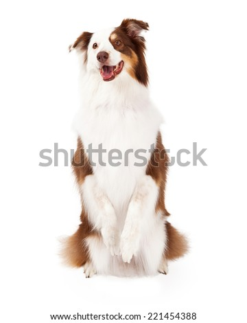 Brown, gold and white Border Collie sitting up on her hind legs begging and looking forward - stock photo