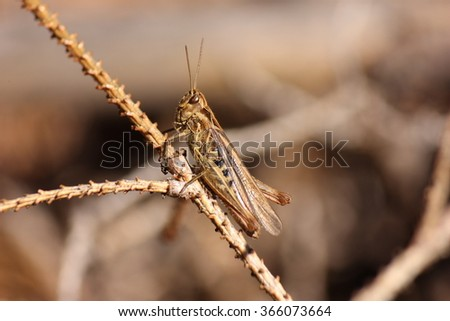 brown grasshopper on bough
