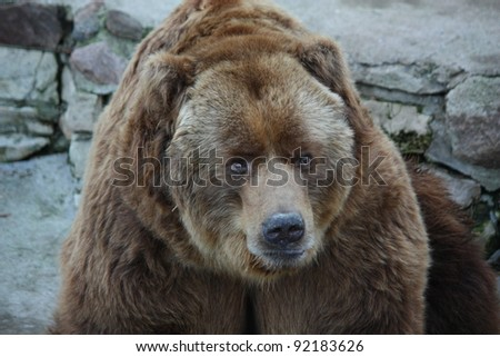 Brown grizzly bear in captivity