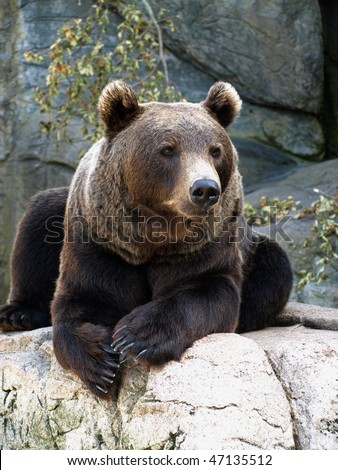 brown grizzly bear seated on a rock - stock photo