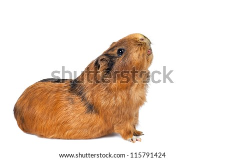 brown guinea pig on a white background - stock photo