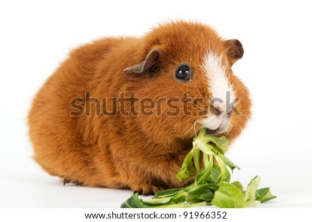 Brown guinea pig with salad in front of a white background - stock photo