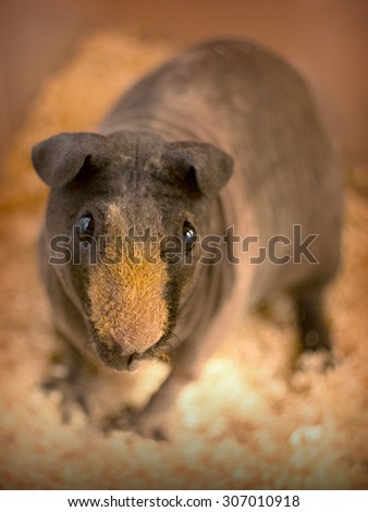 Brown hairless guinea pig - male