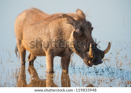 Brown hairy warthog in the water of a river - stock photo