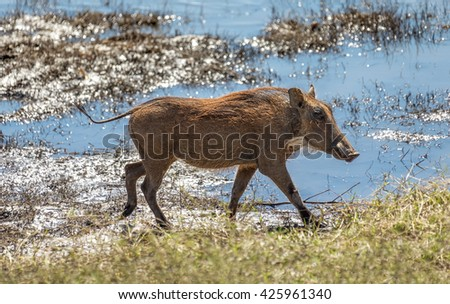 Brown hairy warthogs near river in the Chobe National Park - Botswana, South-Western Africa - stock photo