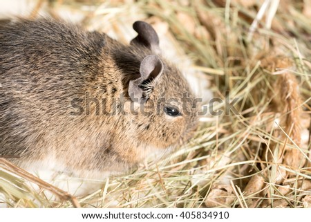 Brown hamster in the straw - stock photo