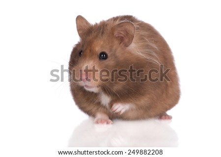 brown hamster posing on white