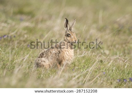 Brown Hare, Lepus, on the grass, side view