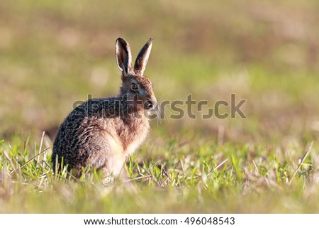 Brown Hare sitting in field