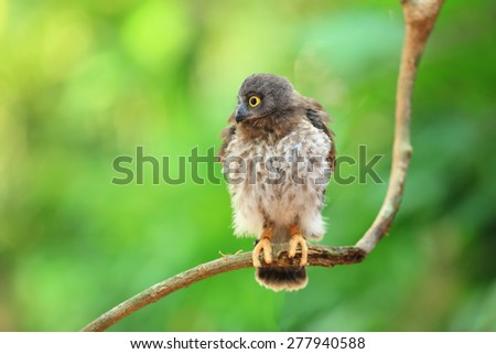 brown hawk owl - stock photo