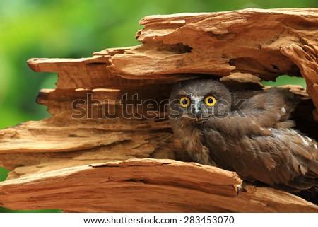 brown hawk owl - stock photo