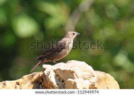 brown-headed cowbird - stock photo