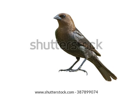 Brown-Headed Cowbird Isolated on White
