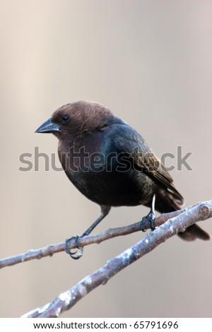 Brown-headed Cowbird (Molothrus ater) - stock photo