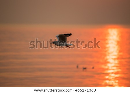 Brown-headed gull flying in the sky during sunset