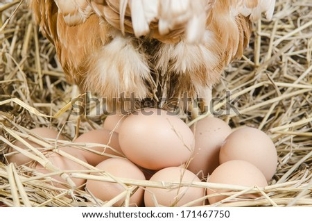 brown hen with egg - stock photo