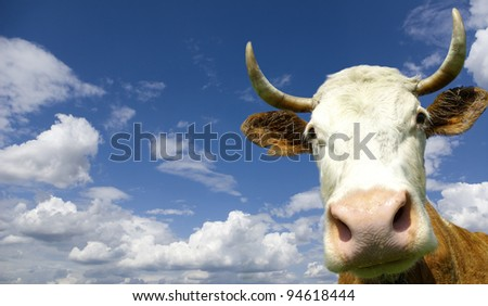 Brown Holstein cow in the field looking at you - stock photo