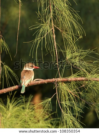 Brown Hooded Kingfisher. Photographed in a Casuarina Tree in Richards Bay, South Africa. - stock photo