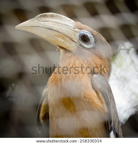 Brown hornbill, Rusty-cheeked hornbill (Anorrhinus tickelli) - stock photo